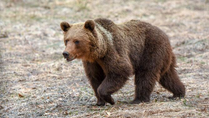 Zamknięto szlaki w rejonie Doliny Gąsienicowej. <br />Powodem niedźwiedzica z młodymi