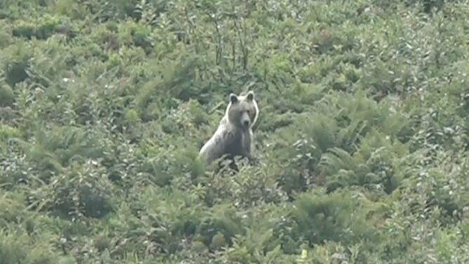 Niedźwiedź na Hali Kondratowej. Jak postępować w przypadku spotkania