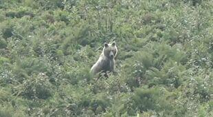 Na Hali Kondratowej pojawił się niedźwiedź