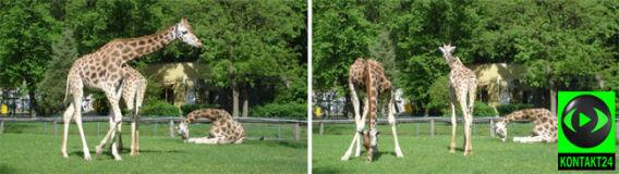 """Reporterka 24: """"Ostatnie zdjęcie łódzkich żyraf"""""""