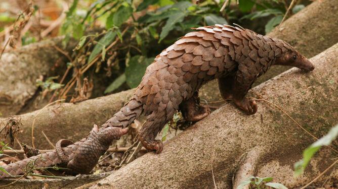 Łuskowiec chiński, inaczej pangolin lub łuskowiec pięciopalczasty (Shutterstock)