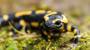 Młode salamandry przyjdą na świat wcześniej niż zwykle