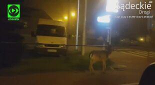 Zwierzę przestrzegało przepisów, skorzystało z przejścia dla pieszych